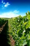 Een Duitse wijngaard dichtbij rhe Royalty-vrije Stock Foto's