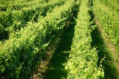Een Duitse wijngaard dichtbij rhe Stock Afbeelding