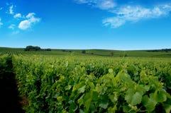 Een Duitse wijngaard dichtbij rhe Stock Foto