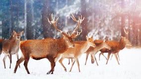 Een edel hert met wijfjes in de kudde tegen de achtergrond van een mooi bos Artistiek de winterlandschap van de de wintersneeuw Stock Foto