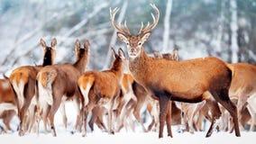 Een edel hert met wijfjes in de kudde tegen de achtergrond van een mooi bos Artistiek de winterlandschap van de de wintersneeuw Royalty-vrije Stock Foto