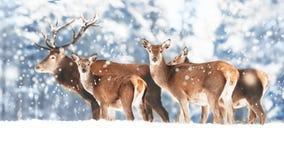 Een edel hert met wijfjes in de kudde tegen de achtergrond van een mooi bos van de de wintersneeuw stock foto's