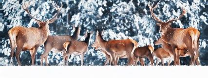 Een edel hert met wijfjes in het mooie bos Artistieke de winterlandschap van de de wintersneeuw De wintersprookjesland royalty-vrije stock afbeeldingen