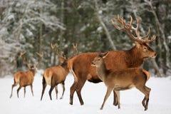 Een edel hertenmannetje met wijfje in de kudde tegen de achtergrond van een mooi bos Artistiek de winterlandschap van de de winte stock foto's
