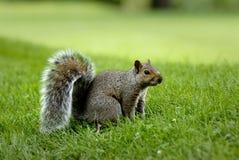 Een eekhoorn Royalty-vrije Stock Foto's
