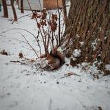 Een eekhoorn stock foto