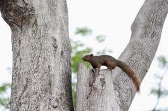 Een eekhoorn die op de boom kijken Stock Foto's
