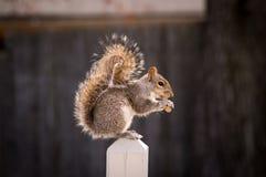 Een eekhoorn die op een pinda feesten royalty-vrije stock foto