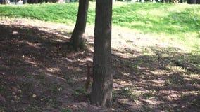 Een eekhoorn die rond threes loopt stock videobeelden
