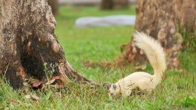 Een eekhoorn, duif en heuvelmyna die bij de boomwortel lopen stock videobeelden