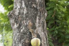 Een eekhoorn op de boom stock afbeelding