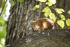 Een eekhoorn op de boom royalty-vrije stock afbeeldingen