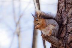 Een eekhoorn op een boom Stock Foto