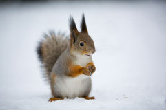 Een eekhoorn in sneeuw Stock Afbeelding