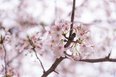 Een een bloei en mistroostigheid van de kersenbloesem in Japan Sakura is al zo het symbool van de Japanse Lente royalty-vrije stock afbeelding