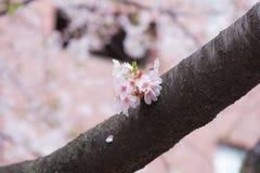 Een een bloei en mistroostigheid van de kersenbloesem in Japan Sakura is al zo het symbool van de Japanse Lente stock foto's