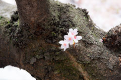Een een bloei en mistroostigheid van de kersenbloesem in Japan Sakura is al zo het symbool van de Japanse Lente stock afbeeldingen
