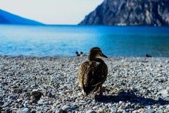 Een Eend die in Meer Garda lopen Royalty-vrije Stock Foto