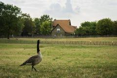 Een eend die een oud huis bij SÃ ¼ bekijken dpark, Dusseldorf, Duitsland Royalty-vrije Stock Fotografie