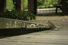 Een eend die een vijver onderzoeken bij SÃ ¼ dpark, Dusseldorf, Duitsland Stock Fotografie