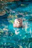 Een eend die in een vijver zwemmen royalty-vrije stock afbeelding