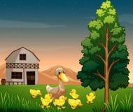 Een eend en haar eendjes over barnhouse bij het landbouwbedrijf Stock Fotografie