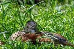 Een eend in het gras wordt verborgen dat stock foto's
