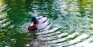 Een eend op water Royalty-vrije Stock Foto