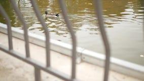 Een eend zwemt in een vijver in het park stock videobeelden