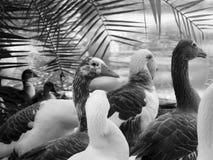 Een eendengroep met een grijze tonaliteit Stock Foto's