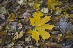 Een eenzaam geel esdoornblad onder droge bladeren royalty-vrije stock afbeelding
