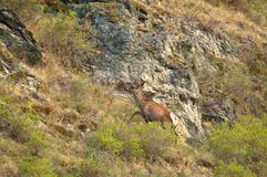 Een eenzaam hert op een groene weide Stock Foto's