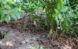 Een eenzaam kuiken op een gebied van gras royalty-vrije stock afbeeldingen