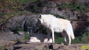 Een eenzaam Noordpoolwolfs in de herfst hout stock videobeelden