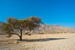 Een eenzame boom in de woestijn stock foto's