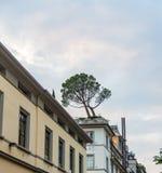 Een eenzame boom groeit op het dak van buiten het inbouwen van Florence, Italië stock afbeelding
