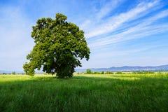 Een eenzame boom op een groen gebied Stock Foto