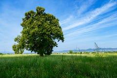 Een eenzame boom op een groen gebied Royalty-vrije Stock Afbeelding