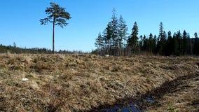 Een eenzame boom op een gebied Pijnboomtribunes op de rand van de bosdetails stock footage