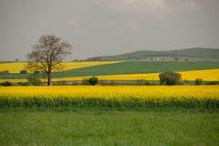 Een eenzame boom op het gele gebied van Canola in Slowakije royalty-vrije stock foto's