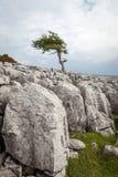 Een eenzame boom op Twisleton-Litteken in het de Dallen Nationale Park van Yorkshire Stock Foto