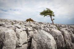 Een eenzame boom op Twisleton-Litteken in het de Dallen Nationale Park van Yorkshire Stock Afbeeldingen