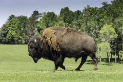 Een eenzame buffel weidt op een gebied Royalty-vrije Stock Foto's