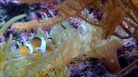 Een eenzame clownfish die tussen de tentakels van een anemoon drijven stock footage