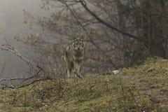 Een eenzame coyote in een dalingsscène Royalty-vrije Stock Foto's