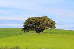 Een eenzame die boom door groene weiden, Catlins, Zuideneiland, Nieuw Zeeland wordt omringd royalty-vrije stock foto