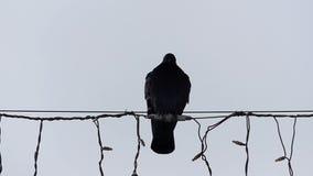 Een eenzame duifzitting op de draad stock videobeelden