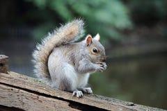 Een eenzame eekhoorn voedt zich terwijl het letten van op toeristen Stock Foto