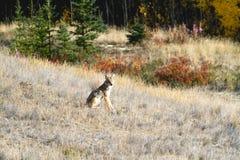 Een Eenzame en Coyote die letten op wachten Royalty-vrije Stock Fotografie