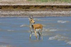 Een eenzame Gazelle bij het water geven Stock Afbeeldingen